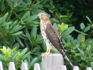 Falcon on the Fence