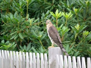 Falcon on the Fence 2